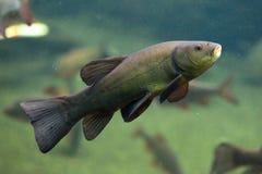 Sutare (Tincatinca), också som är bekant som doktorsfisken Arkivbilder