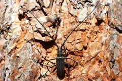 Sutor do monochamus. Besouro preto com antenas longas. Imagens de Stock Royalty Free