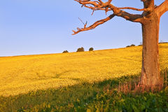 Suunrise over field of rapeseed landscape Royalty Free Stock Images
