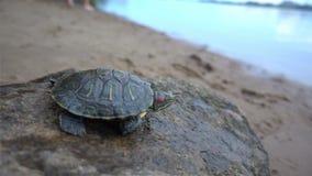 suwaków słyszący czerwoni żółwie Trachemys scripta elegans, przewodzą strzał, zamykają w górę hd zbiory wideo