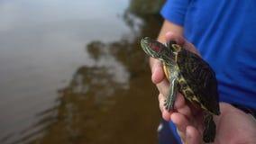 suwaków słyszący czerwoni żółwie Trachemys scripta elegans, przewodzą strzał, zamykają w górę hd zdjęcie wideo