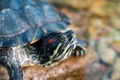 suwaka słyszący czerwony żółw Obraz Royalty Free
