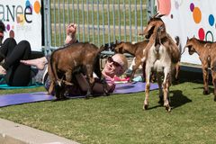 Goats Gather Around Woman Stretching At Outdoor Goat Yoga Class stock image