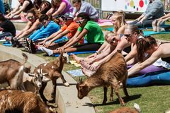 Goats Walk Among People Stretching At Goat Yoga Class royalty free stock photography