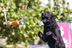 Dog Opens Mouth And Extends In Midair To Grab Object Stock Photos