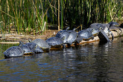 Suwannee Cooter Turtles and Alligator Sunning. Several Suwannee Cooter Turtles (Pseudemys texana) and a lone Aligator resting on a log basking in the morning and Stock Images