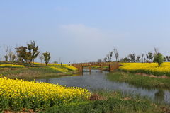 Suzhou Yangcheng Lake scenery, canola flower, yellow Stock Photography