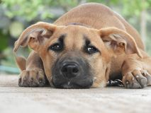 Suzy een Hond royalty-vrije stock afbeeldingen