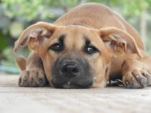 Suzy A hund royaltyfria bilder
