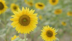 Svänga för solros stock video