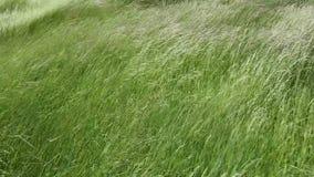 Svänga gräs i fältet med en mycket stark vind lager videofilmer