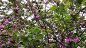 Svänga i vindfilialen av körsbärsröda blomningar stock video