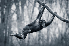 Svängande schimpans III Royaltyfria Bilder