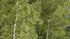 Svängande träd med att prassla sidor med starka vindkast av vind lager videofilmer