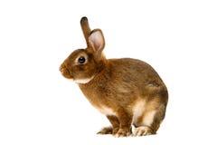 Svängbart hjulRex kanin över vit Arkivbilder