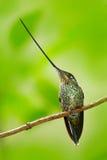 Svärd-fakturerad kolibri, Ensifera ensifera, art av fågeln som har en räkning länge än vila av dess kropp, fågel med längst bi Royaltyfri Foto
