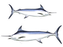 Svärdfisk royaltyfri fotografi