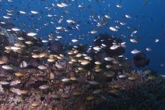 Svärm av den barnsliga fisken av den Balicasag ön, Bohol Filippinerna Arkivbilder
