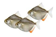 Svärm av silverdollarsläktet metynnis som skolar akvariefisken Royaltyfri Bild