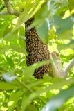 Svärm av wasps Arkivbilder