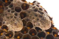 Svärma drottningceller, nöd- drottningceller, konstgjorda drottningceller med bidrottningar Arkivbild