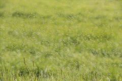 Svärmar av myggor över ett gräsfält royaltyfria bilder
