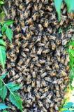 Svärmen av bin samla i en klunga på ett träd som skyddar deras drottning Royaltyfri Foto