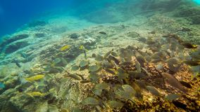 Svärmen av sweetlip fiskar på en rev i Thailand Arkivfoto