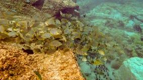 Svärmen av sweetlip fiskar på en rev i Thailand Fotografering för Bildbyråer