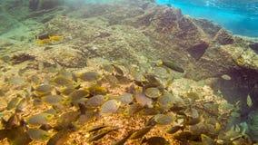 Svärmen av sweetlip fiskar på en rev i Thailand Arkivbilder