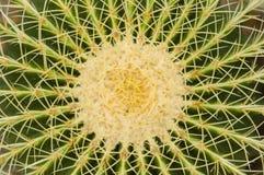 Svärmor dämpar kaktusen Arkivbild