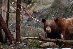 Svärta björnen Arkivfoto