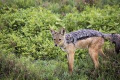 Svärta den drog tillbaka sjakalen, den Ngorongoro krater, Tanzania Royaltyfri Fotografi