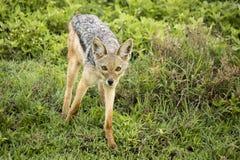 Svärta den drog tillbaka sjakalen, Ngorongoro naturvårdsområde, Tanzania Fotografering för Bildbyråer