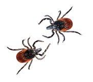 Svärta den lade benen på ryggen hjortfästingen - Ixodesscapularis aka hunden, kattfästing Royaltyfria Bilder