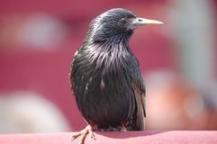 Svärta fågeln Arkivfoto