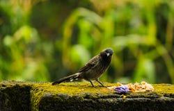 Svärta fågeln Arkivfoton