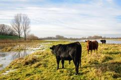 Svärta och bryna Galloway tjurar i ett delvis översvämmat område fotografering för bildbyråer