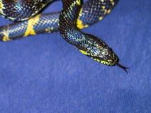 Svärta och gulna den randiga ormen på mörkblå bakgrund Royaltyfri Fotografi