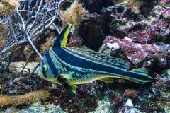 Svärta och gulna den randiga tropiska lösa djungelfisken Royaltyfria Bilder