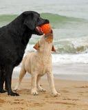 Svärta och gulna labradors som spelar med en boll Royaltyfri Bild