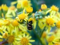 Svärta och gulna larven som vrids runt om gul blommaoutsid fotografering för bildbyråer