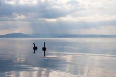 Svärta Swans Arkivbilder