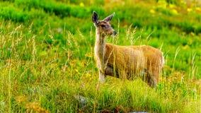 Svärta Tailed hjortar på Tod Mountain nära solmaxima i den Shuswap Skotska högländerna av British Columbia, Kanada royaltyfria bilder