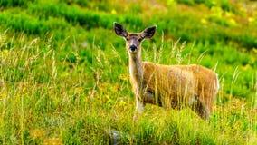 Svärta Tailed hjortar på Tod Mountain nära solmaxima i den Shuswap Skotska högländerna av British Columbia, Kanada arkivbilder
