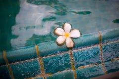 Sväva blomman i simbassäng Arkivfoto