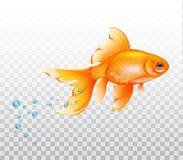 Sväva den undervattens- guldfisken Guldfisk med luftbubblan Realistisk illustration på genomskinlig bakgrund Royaltyfria Foton