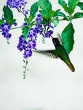 Sväva denfakturerade kolibrin som läppjar nektar från en floret Arkivfoton