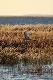 sväva för egret Royaltyfri Foto