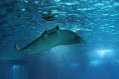 Sväva för MantaRay fisk som är undervattens- royaltyfri fotografi